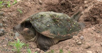 Snapping Turtle Resting After Digging Hole For Eggs