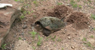 ZI TO CU Snappiong Turtle in Nest Hole