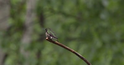 Ruby Throated Hummingbird,Male on Branch,Looking Away,Lifts Head High,Looks Around