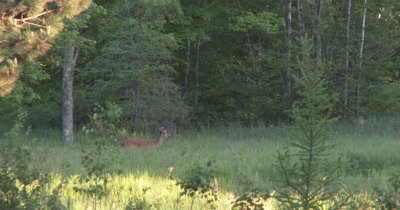 White-tailed Deer Buck in Field,Velvet Antlers,Browsing,Moves Off
