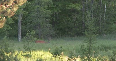 White-tailed Deer Buck in Field,Velvet Antlers,Browsing