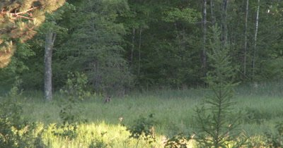 White-tailed Deer Buck Moving Off Into Deep Woods