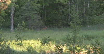 White-tailed Deer Buck Moving Off Into Deep Woods,Disappears Into Brush