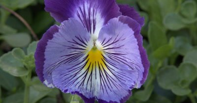 Purple Pansy,Yellow Throat and Whiskers