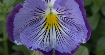 Purple Pansy,Yellow Throat,Whiskers
