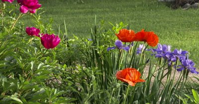Flower Garden,Peony,Poppy,Siberian Iris