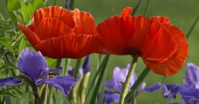 Poppy Flowers and Iris,Orange and Blue