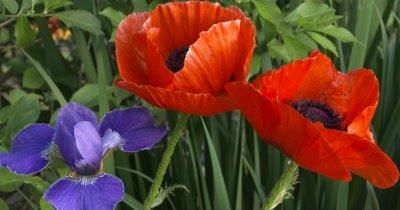Orange Poppy Flowers with Blue Iris