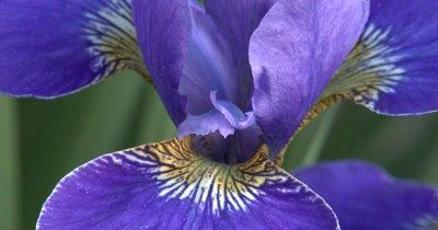 Close up Center Blue Siberian Iris