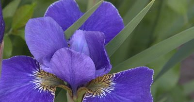 Blue Siberian Iris,Bee in Flower,Exits