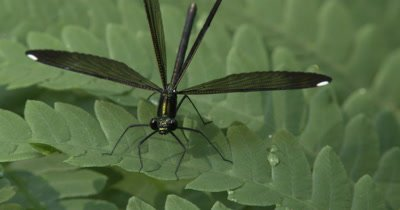 Female Ebony Jewelwing,Damselfly Hunting From Fern Leaf