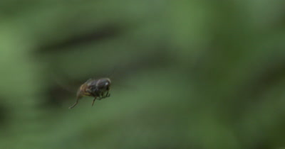 Hovering Deer Fly,Hunting,Front Legs Folded for Capturing Prey