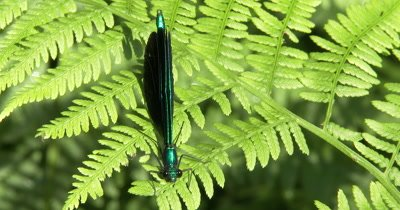 Damselfly,Ebony Jewelwing Male,Resting on Fern Leaf,Exits
