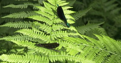 Ebony Jewelwing Damselflies,Male and Female,Resting on Fern Leaf