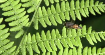 Hovering Deerfly,Moves to Right of Frame,Shadow Left onLeaf