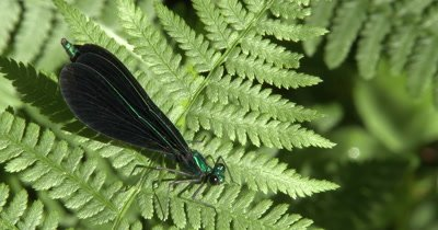 Ebony Jewelwing Damselfly on Fern Leaf,Snaps Wings Open,Closed