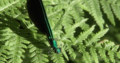 Damselfly on Fern Leaf,Washing Face,Ebony Jewelwing Male