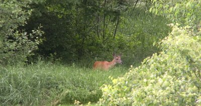 White-tailed Deer, Doe, Moves Off Into Brush, Exits
