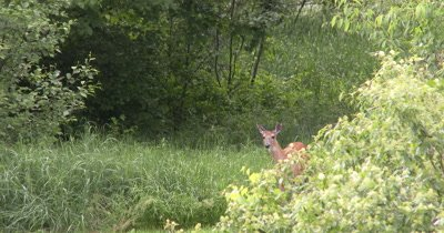 White-tailed Deer, Doe, Sneaking Along Edge of Brush, Has Fawn Sleeping Off Frame in Brush