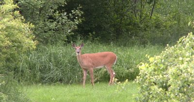 White-tailed Deer, Doe, Watching Intently