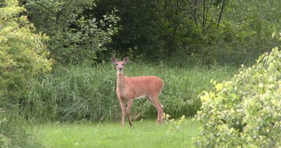 White-tailed Deer, Doe, Watching Intently Moves Toward Camera,Turns Head Quickly to Left