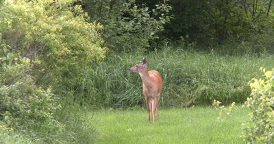 White-tailed Deer, Doe,Watching Intently to Left of Frame, Turns, Looks At Camera