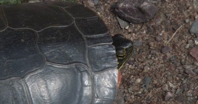 Painted Turtle,Head Pulled Into Shell,Looking Toward Back