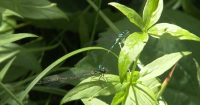 Northern Bluets,Preparing for Mating