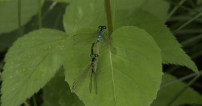 Northern Bluets,Damselfly Mating Behavior