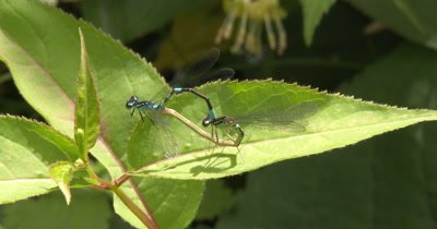 Mating Northern Bluets,Damselfly Mating Behavior