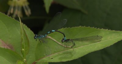 Mating Behavior of Northern Bluets,Damselfly