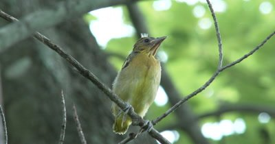Juvenile Baltimore Oriole,Sitting on Branch,Looks Down,Out of Nest First Time