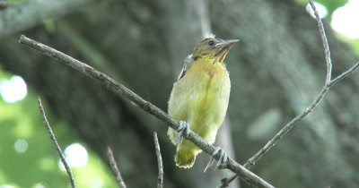 Juvenile Northern Oriole,Sitting on Branch,Out of Nest First Time