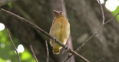 Juvenile Northern Oriole,Sitting on Branch,Out of Nest First Time,Looks Slightly Down at Camera