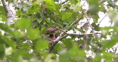Wild Turkey Juveniles,Poults,Sitting in Tree,Looking Down,Around