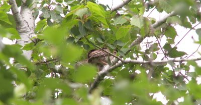 Wild Turkey Poults in Tree,Nervous,Looking Around