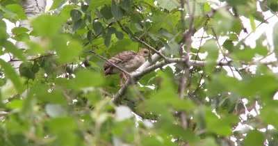 Wild Turkey Poult in Tree,Preening Juvenile