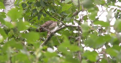 Wild Turkey Poult in Tree,Juvenile,Exits to Catch up With Rest of Family