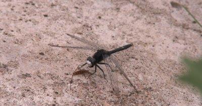 Dot Tailed Whiteface,Dragonfly,Eating Crane Fly,Finishing