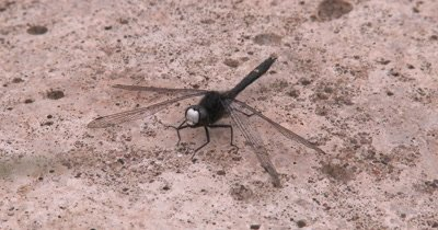 Dot Tailed Whiteface,Dragonfly,Looking Up in Sky for Prey