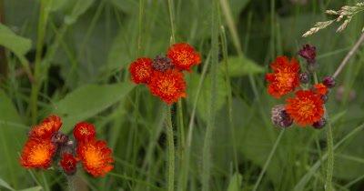 Hawkweed,Wildflower Three Groups
