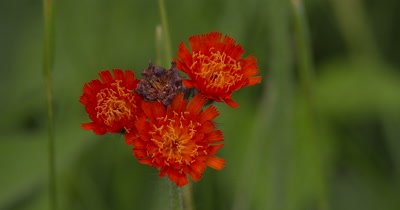 Hawkweed,Wildflower,Single Grouping