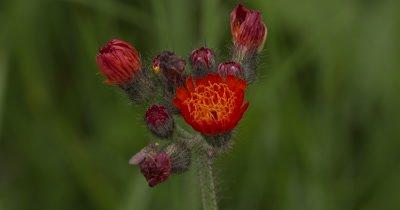 Hawkweed,Wildflower,Single Open Flower,Buds Waiting