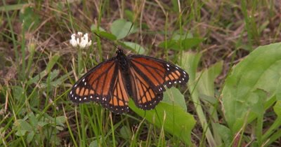 Viceroy Butterfly on Grass,Fanning Wings