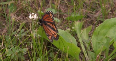 Viceroy Butterfly on Grass,Turns Around,Fanning Wings