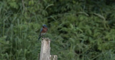Male Eastern Bluebird on House,Has Food For Chicks,Grasshopper Without Legs