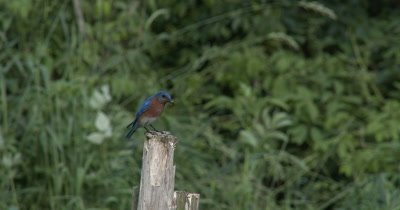 Male Eastern Bluebird With Food For Young in House