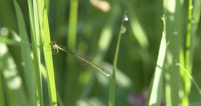 Sedge Sprite Damselfly Female,Resting on Grass Blade in Sun
