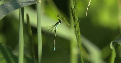 Sedge Sprite Damselfly,Pulling Aphiid from Grass Seed Head