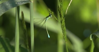 Sedge Sprite Damselfly,Pulling Aphid From Grass Seed Head,Feeding